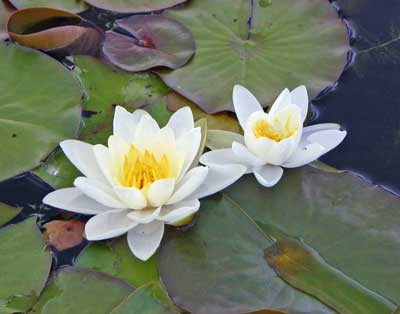 Photograph of two white and yellow water lily-flowers and their green, floating leaves.