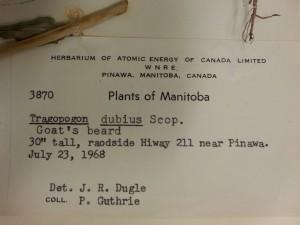 tragopogon dubius label