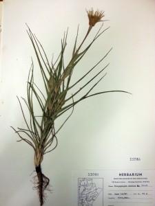 tragopogon dubius plant photo
