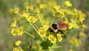 Bumblebees were visiting the invasive leafy spurge (Euphorbia esula) plants at the preserve.
