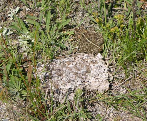 Photograph of a Canadian Toad next to a cow pie.