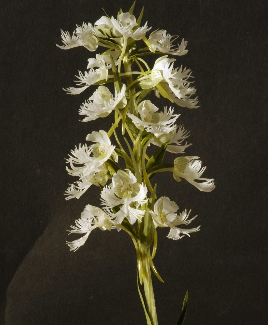 Model of a Western Prairie Fringed Orchid (Platanthera praeclara).