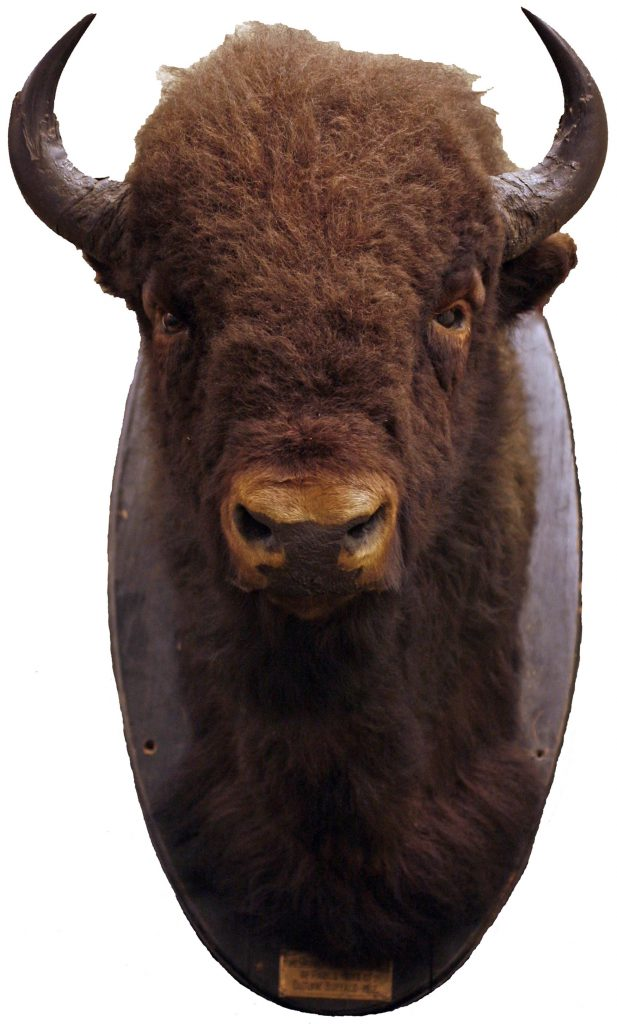 The Museum's outlaw #5, bison bull of the Pablo-Allard herd from 1911,.an important symbol of change since Confederation. It is also representative of the potential of national conservation efforts. (MM 24175)