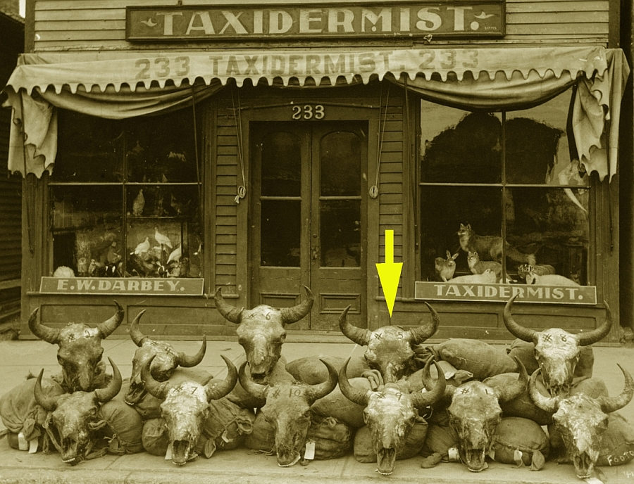 E.W. Darbey's shop on Main Street with bison skulls on the sidewalk in 1911. (Archives of Manitoba)
