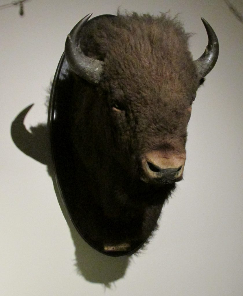 Outlaw #5, a plains bison bull from the Pablo-Allard herd (MM 24175).