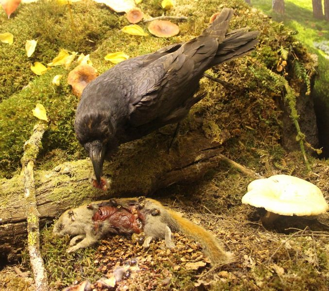 Raven in decomposer diorama, CN=1-2-5705