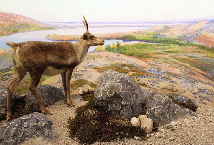 23. Caribou in diorama