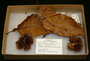 Museum specimen of American Chestnut.