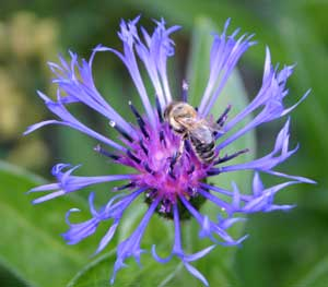 The exotic Bachelor's Buttons attracts pollinators like bees.