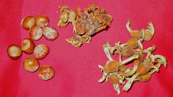 Three different hazelnut species (from left to right): European, American, and beaked.