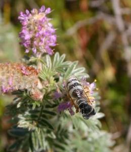 Sand Wasp on Hairy Prairie-clover.