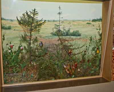 A photograph of the bog diorama at The Manitoba Museum.