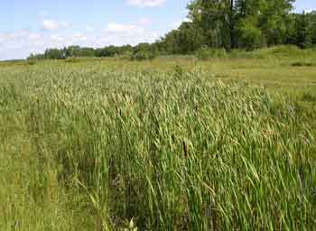 Cattail: Abundant and nutritious food for when you're on the run.