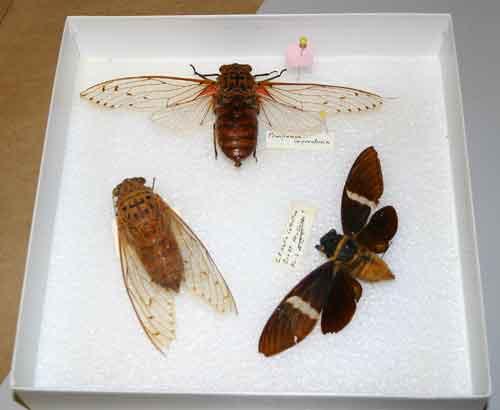 Tray of giant cicadas.