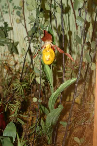 A photograph of a yellow lady's-slipper orchid model in The Manitoba Museum's bog diorama.