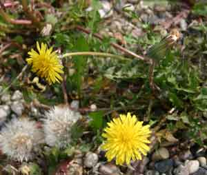 Bees love dandelion. You should to!