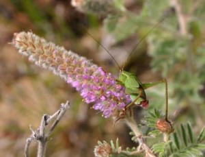 Katydid resting on Hairy Prairie-clover; another unsuspecting victim!