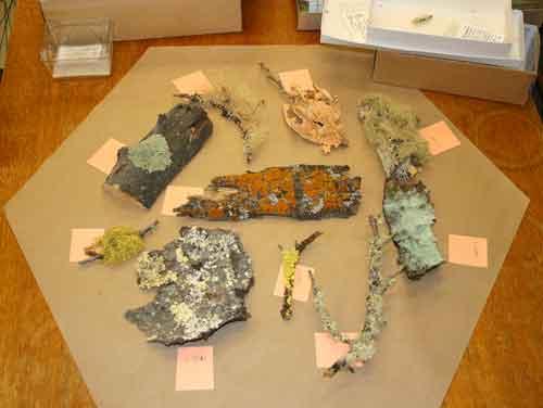 Lichen specimens for the exhibit.