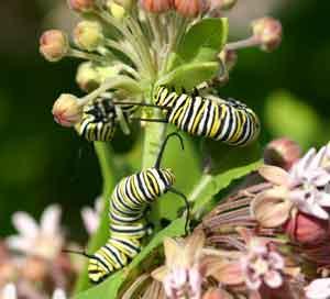 After eating milkweeds (Asclepias spp.) in Manitoba, monarchs (Danaus plexippus) migrate to warmer climates.