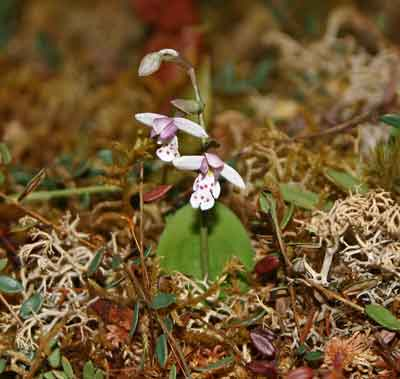 A photograph of the small round-leaved orchid (Amerorchis rotundifolia) model in The Manitoba Museum's bog diorama.