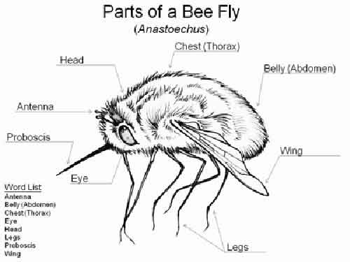 Worksheet on the parts of a bee fly for the Virtual Museum of Canada's Teachers' Learning Centre.