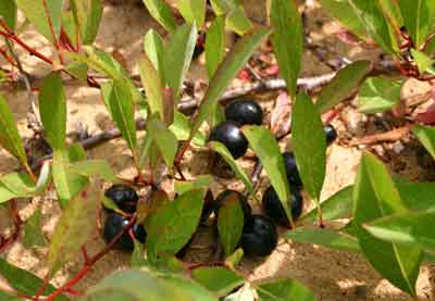 Mmmm sand cherries.  Ripe and ready to be eaten by a hungry bear.