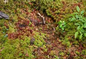 Sphagnum moss-the perfect plant for zombie bite emergencies!