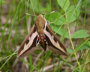 Sphinx moths (Sphingidae) overwinter as pupa underground.