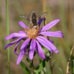Bee fly on Western Silvery Aster.