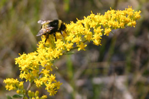 Bumblebee (Bombus sp.) on Showy Goldenrod.