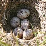 It's always thrilling to find a bird's nest hidden in the prairie grasses.