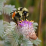 A bumblebee pollinating a rare Hairy Prairie Clover plant was a great field discovery.