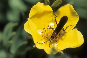 Photo of aBraconid wasp on a Cinquefoil.