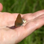 A butterfly lapping up the salty sweat on my hand.