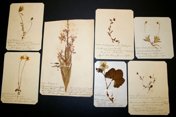 Some of Lizzie Crawford's pressed plants from Labrador.
