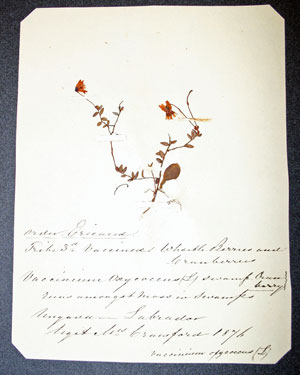 """A specimen of swamp cranberry collected """"amongst moss in a swamp""""."""