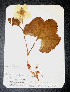 A faded but beautiful cloudberry specimen.