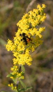 Bumblebees love Showy Goldenrod!