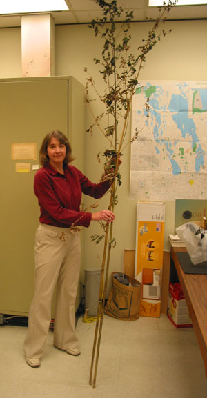 This ugly Giant Ragweed (Ambrosia trifida) specimen that was recently donated is 3 m tall.