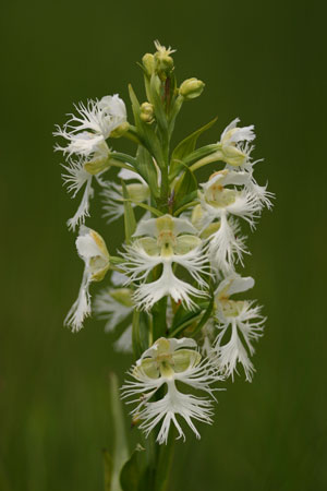 Like many species, the Western Prairie Fringed Orchid depends on other plants, fungi and insects to survive.