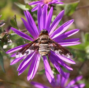 A bee fly (Exoprosopa sp.) on a Western Silvery Aster flower.