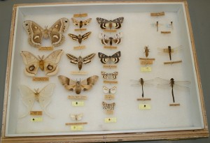 Insect case with Hymenopterans (bees, wasps), Dipterans (flies) and Hemipterans (true bugs)
