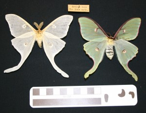 Two Luna Moth specimens. Though approximately the same age, the one on the left has become severely faded.