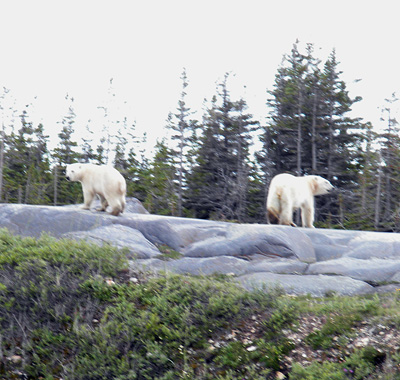 This morning's bears (photo by Dave Rudkin, Royal Ontario Museum)