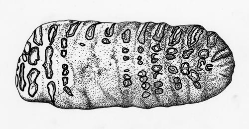 V-1739_Mammuthus_3_500