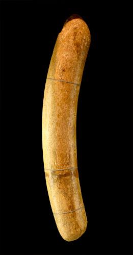 An incomplete mammoth tusk (specimen V-209)