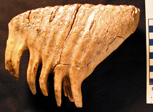 Side view of a mammoth molar from southeastern Manitoba (specimen V-2554)