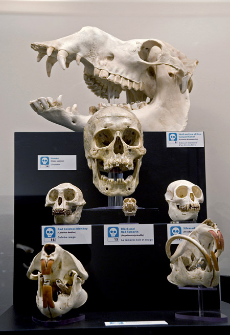 A human skull is compared to the skulls of other mammals. The beaver skull on the lower right is from an animal that had a displaced jaw. Its [incisor] grew continuously until it met the skull! (photo by Hans Thater)