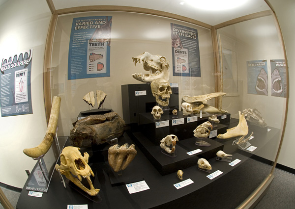 This case exhibited the diversity of mammal groups, both living and fossil (photo by Hans Thater)
