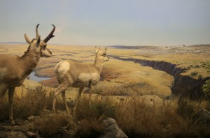 Pronghorn Diorama by Clarence Tillenius. Grasslands Gallery, The Manitoba Museum.